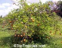 Citrus x sinensis, OrangeClick to see full-size image