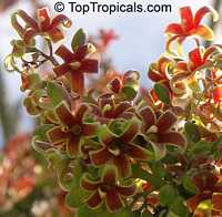 Sterculia foetida - seeds