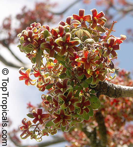 Sterculia foetida, Wild Indian Almond - TopTropicals com