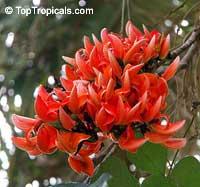 Butea monosperma, Butea frondosa, Erythrina monosperma, Flame of the Forest, Dhak, Palas, Bastard Teak, Parrot Tree  Click to see full-size image