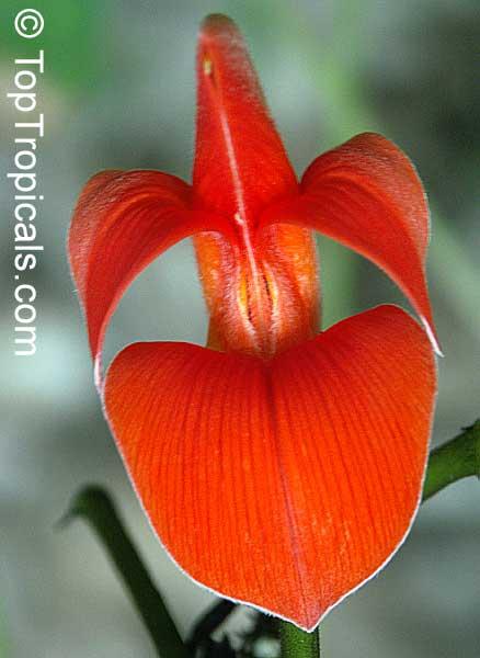 Butea monosperma, Flame of the forest - TopTropicals.com Palash Flower Wallpaper