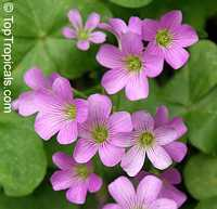 Oxalis sp., Shamrock, Wood Sorrel  Click to see full-size image