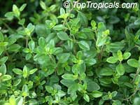 Thymus vulgaris, Garden Thyme  Click to see full-size image