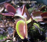 Dionaea muscipula, Venus flytrap  Click to see full-size image