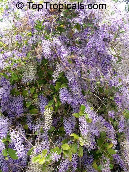 Petrea volubilis queens wreath toptropicals petrea volubilis mightylinksfo