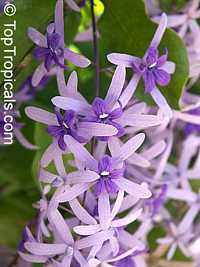 Petrea racemosa - Royal Queens Wreath  Click to see full-size image
