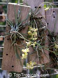 Chiloschista lunifera, Thailand orchid  Click to see full-size image
