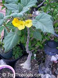 Uncarina roeoesliana, UncarinaClick to see full-size image