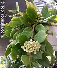 Hoya pachyclada, Wax plant  Click to see full-size image