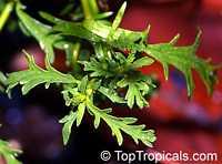 Hermannia verticillata, Mahernia verticillata, HoneybellsClick to see full-size image