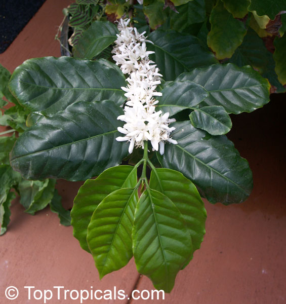 Цветок кофе арабика цветение