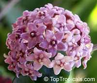 Hoya carnosa Compacta, Hindu Rope, Krinkle KurlsClick to see full-size image