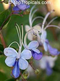 Clerodendrum ugandense - Blue Butterfly   Click to see full-size image