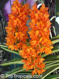 Ascocentrum sp., Ascocentrum  Click to see full-size image