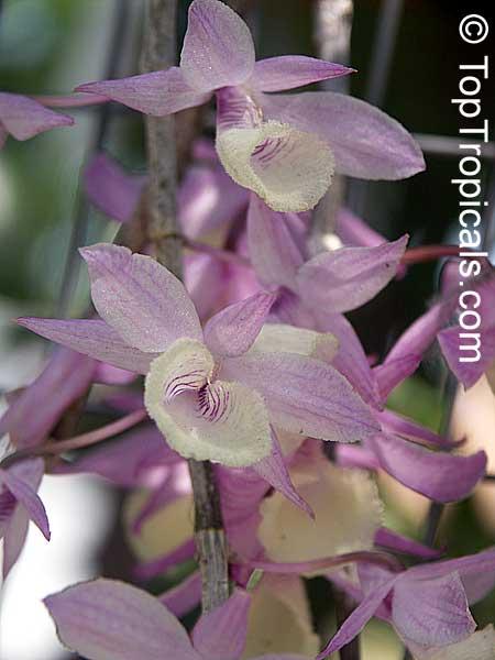 Dendrobium Pierardii Dendrobium Aphyllum Dendrobium