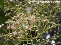 Pimenta dioica, Allspice, Jamaica Pepper, Pimento Tree, AlspiceClick to see full-size image