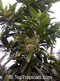 Pimenta dioica, Pimenta officinalis, Allspice, Jamaica Pepper, Pimento Tree, Alspice  Click to see full-size image