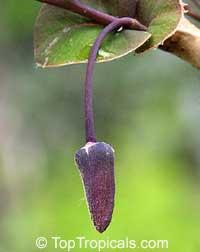 Annona diversifolia, Annona ilama, Illama, Annona blanca  Click to see full-size image