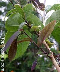 Annona diversifolia, Annona ilama, Illama, Annona blancaClick to see full-size image