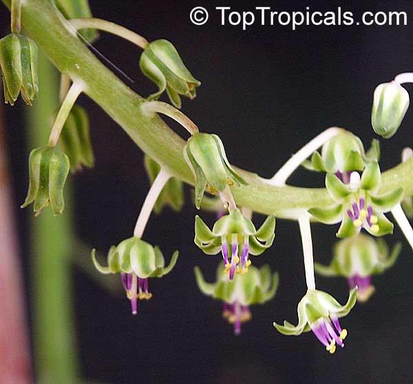 Scilla socialis Violacea inflorescence