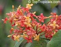 Saraca indica, Saraca asoca, Jonesia asoca, Ashoka Tree, Jonesia Asoka, Gandhapushpa, Sorrowless Tree  Click to see full-size image