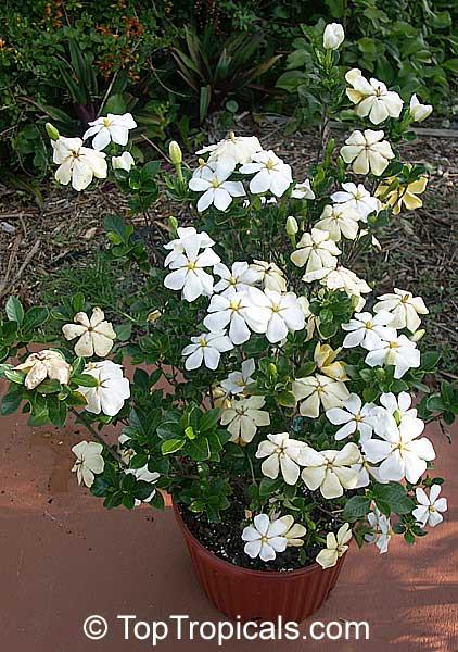 Gardenia X Duruma White Gem Buttons Gardenia