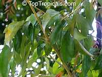 Radermachera ignea, Tree Jasmine, Peep Thong  Click to see full-size image