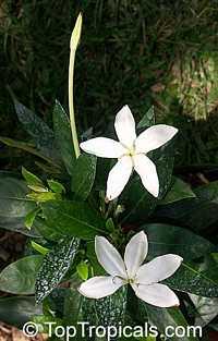Augusta rivalis, Marmelada, Purui, Trompito, Madrono, Zumbo, Guayabito de monte, Star of Belize, Alibertia  Click to see full-size image
