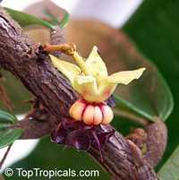 Theobroma grandiflorum, Cupuasu, Copoasu, CupuacuClick to see full-size image