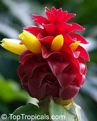 Costus - Red Button Ginger