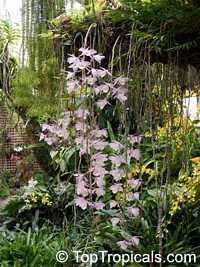 Dendrobium pierardii, Dendrobium aphyllum, Dendrobium OrchidClick to see full-size image