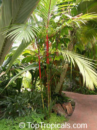 Areca vestiaria - Red Crownshaft Palm (red trunk)  Click to see full-size image