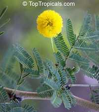 Vachellia tortuosa, Acacia tortuosa, Mimosa tortuosa, Twisted Acacia, Huisachillo  Click to see full-size image