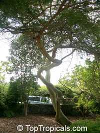 Vachellia tortuosa, Acacia tortuosa, Mimosa tortuosa, Twisted Acacia, HuisachilloClick to see full-size image