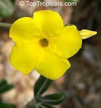 Pachypodium rosulatum - Elephants Foot Plant  Click to see full-size image