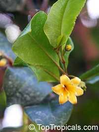 Goetzea elegans, Beautiful Goetzea, Mata Buey  Click to see full-size image
