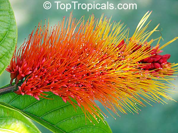 Combretum Aubletii Monkey S Brush Toptropicals Com