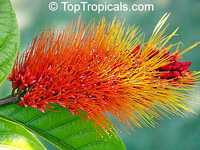 Combretum aubletii, Monkey's brush