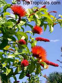 Combretum aubletii, Monkey's brush  Click to see full-size image