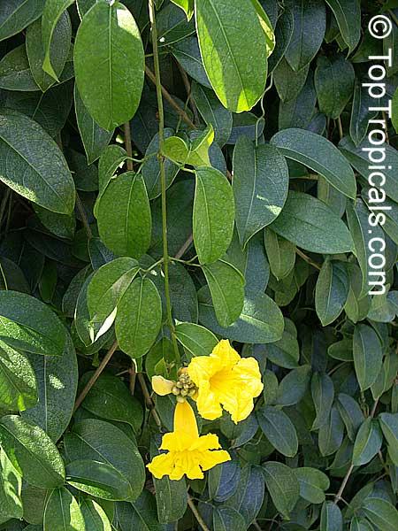Adenocalymna comosum bignonia comosa yellow trumpet vine adenocalymna comosum bignonia comosa yellow trumpet vine click to see full size image mightylinksfo