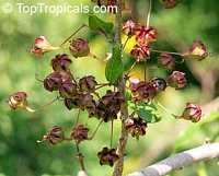 Ginoria sp., Ginoria  Click to see full-size image