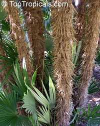 Zombia antillarum, Chamaerops antillarum, Coccothrinax anomala, Zombie Palm, Latanier ZombiClick to see full-size image