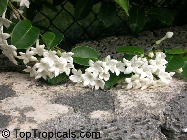 Stephanotis Floribunda Bridal Bouquet Madagascar Jasmine Wax Flower Chaplet Floradora