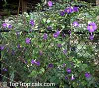 Thunbergia erecta, King's Mantle, Bush Clock Vine  Click to see full-size image