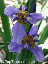 Neomarica caerulea, Walking Iris, Twelve apostles, Apostle Plant  Click to see full-size image