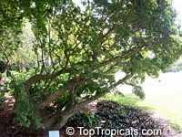 Guaiacum sanctum, Lignum Vitae, Tree of Life, Gaiac treeClick to see full-size image