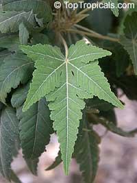 Ruizia cordata, Ruizia diversifolia, Ruizia laciniata, Ruizia lobata, Ruizia palmata, Ruizia variabilis, RuiziaClick to see full-size image