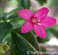 Ravenia spectabilis, Lemonia spectabilis, Limonia, Ravenia PinkClick to see full-size image