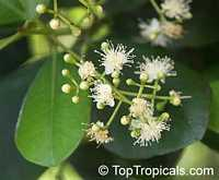 Pimenta racemosa, Caryophyllus racemosus, Bay Rum Tree  Click to see full-size image