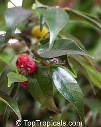Eugenia confusa, Red Berry Stopper  Click to see full-size image
